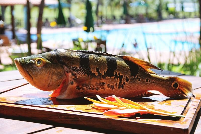 Pesca do Tucunaré Amarelo em Cardoso