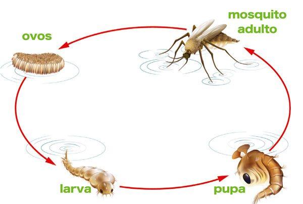 Como combater o aedes aegiptu, mosquito da dengue